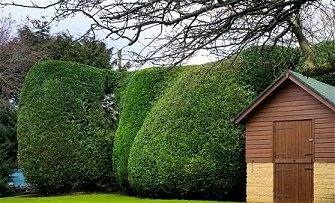 Conifer hedging trimmed and shaped